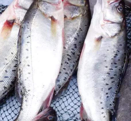 赣榆鲈鱼:连云港市赣榆区特产鲈鱼,产地海产品鲈鱼,产地宝