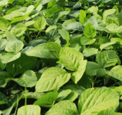 海州豆丹:连云港海州特产豆丹,产地农产品豆青虫,产地宝