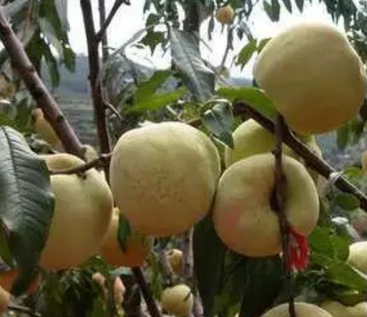 海州冬青桃:连云港海州特产花果山冬青桃,产地农产品,产地宝