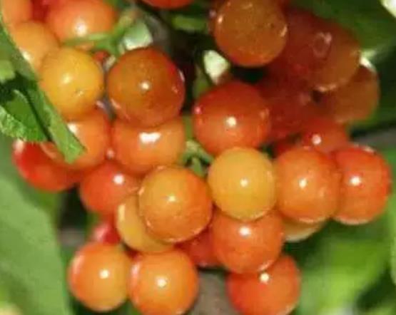 云台山樱桃:连云港海州特产云台山樱桃,产地农产品水果,产地宝