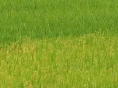 马喇贡米:重庆黔江马喇镇特产马喇湖贡米,产地食品农产品大米,产地宝