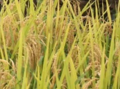 高坪贡米:重庆黔江邻鄂镇高坪村产地特产大米高坪贡米,产地宝